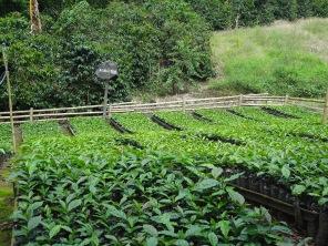 16 Kolumbija kafija (2)