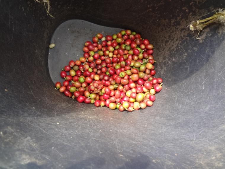 16 Kolumbija kafija (5)