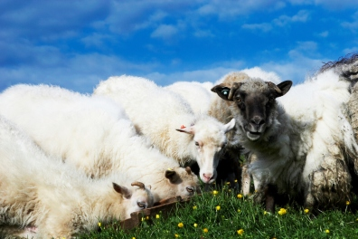 Group of sheep grassing